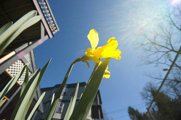 the first daffodil in my yard this year
